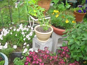 patio pots, July 2009