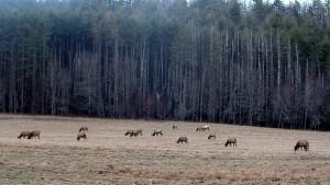 Elk at Cataloochee